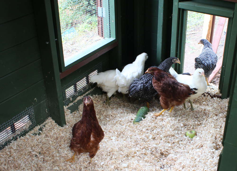 chicken black singles Both are large breeds with black and white  looking for a chicken with a pattern in a single feather that resembles the back end of the penciled plymouth rock.