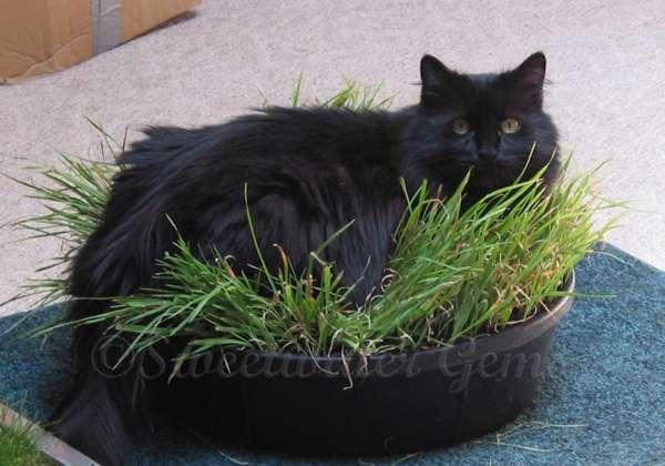Indoor Cat Lawn